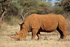 White rhinoceros in natural habitat stock photo