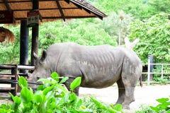 The white rhinoceros in the open zoo Stock Photos