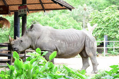 The white rhinoceros in the open zoo Royalty Free Stock Image