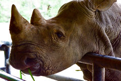 The white rhinoceros in the open zoo Royalty Free Stock Images