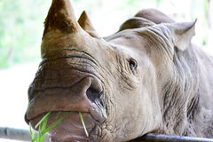 The white rhinoceros in the open zoo Stock Image