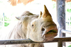 The white rhinoceros in the open zoo Stock Images