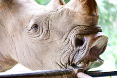 The white rhinoceros in the open zoo Royalty Free Stock Photo