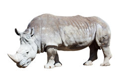 White rhinoceros over white Stock Photo