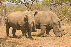 White rhinoceros pair. Massive animal; dark-grey skin; two horns composed of matted, hairliked filaments; threatened, but responds well to aggressive Stock Photography