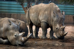 White rhinoceros. Pair of rhinos in the zoo Royalty Free Stock Images