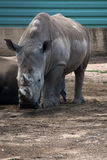 White rhinoceros. Pair of rhinos in the zoo Stock Photography