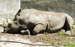 White rhinoceros pensive Stock Photos