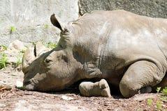 White rhinoceros pensive Stock Images