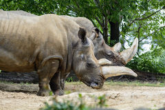 White Rhinoceros. Photo of a pair of  White rhinoceros showing there massive horns Stock Photography