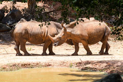 White rhinoceros. Pictures of animals Travel with family on holiday Royalty Free Stock Photo