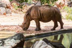 White rhinoceros. Pictures of animals Travel with family on holiday Stock Photos