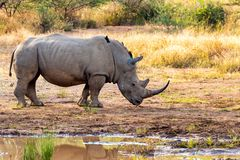 White rhinoceros Pilanesberg, South Africa safari wildlife. White rhinoceros on waterhole in Pilanesberg National Park & Game Reserve, South Africa safari royalty free stock image