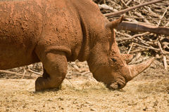 White Rhinoceros portrait Royalty Free Stock Photo