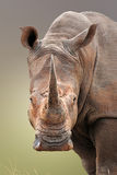 White Rhinoceros portrait Royalty Free Stock Photography