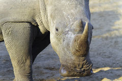 White Rhinoceros Portrait. White Rhinoceros close up portrait in early morning sunshine Stock Image
