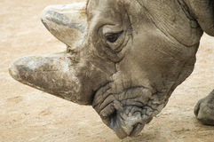 White rhinoceros` portrait. A close up shot of a white rhino Stock Photos