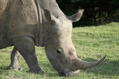 White Rhinoceros Potrait Royalty Free Stock Images
