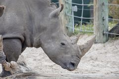 White Rhinoceros Profile. Profile of a Southern White Rhinoceros Royalty Free Stock Photography