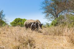 White rhinoceros with puppy, South Africa Royalty Free Stock Image