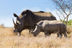 White rhinoceros with puppy, South Africa Stock Image