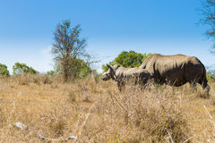White rhinoceros with puppy, South Africa Royalty Free Stock Photo