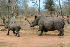 White rhinoceros running in Hlane Royal National Park, Swaziland. White rhinoceros running in Hlane Royal National Park, in Swaziland royalty free stock images