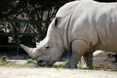 White rhinoceros. A white rhinoceros at Safari. A rhinoceros is one of any five extant species of odd-toed ungulates in the family Rhinocerotidae, as well as any royalty free stock images