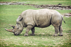White rhinoceros side view stock photography
