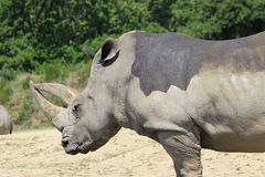 White Rhinoceros Side View Royalty Free Stock Image
