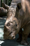 A white rhinoceros at the Singapore Zoo in Singapore. stock images