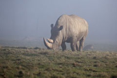 White Rhinoceros Royalty Free Stock Image