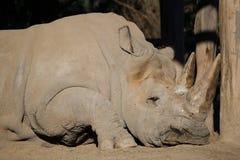 White Rhinoceros sleeping Stock Photography
