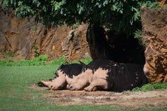 White rhinoceros sleeping in shade under tree Royalty Free Stock Photo