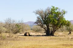 White rhinoceros sleeping under a tree, South Africa Royalty Free Stock Photography