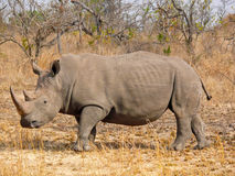 White Rhinoceros, South Africa. One of the rhinos under the protection of Kruger National Park Royalty Free Stock Photos