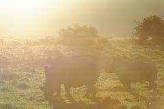 White Rhinoceros, South Africa Royalty Free Stock Photos