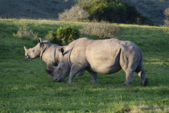 White Rhinoceros, South Africa Stock Photography