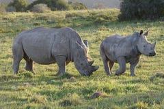 White Rhinoceros, South Africa Stock Photo