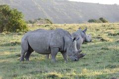 White Rhinoceros, South Africa Stock Image