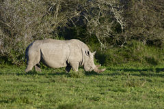 White Rhinoceros, South Africa Stock Images