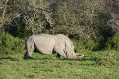 White Rhinoceros, South Africa Royalty Free Stock Photography