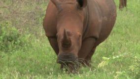 White rhinoceros stock video