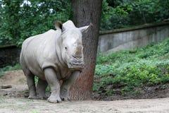 The white rhinoceros Stock Photo