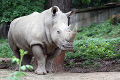 The white rhinoceros Stock Images