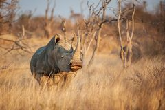 White rhinoceros Ceratotherium simum. The white rhinoceros or square-lipped rhinoceros Ceratotherium simum is the largest species of rhinoceros that exists. It Royalty Free Stock Photos