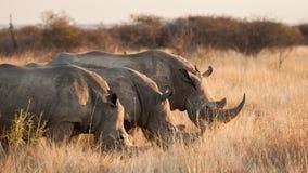 Three White rhinoceros hide behind grass - Ceratotherium simum. The white rhinoceros or square-lipped rhinoceros Ceratotherium simum is the largest species of stock photos