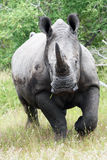 White rhinoceros. Or square-lipped rhinoceros Ceratotherium simum a running against us royalty free stock photography