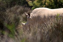 The white rhinoceros or square-lipped rhinoceros is the largest extant species of rhinoceros. It has a wide mouth used for grazing and is the most social of Stock Images