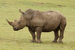 A White Rhino at Boteilierskop Reserve. The white rhinoceros or square-lipped rhinoceros is the largest extant species of rhinoceros. It has a wide mouth used royalty free stock photo